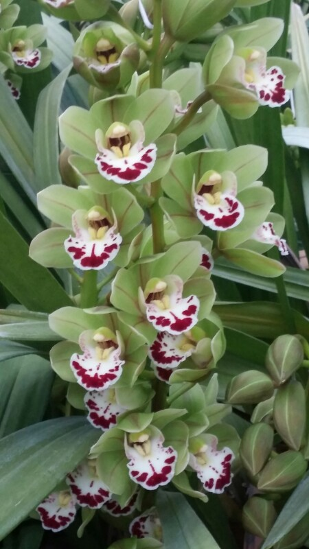 Mini Cymbidium